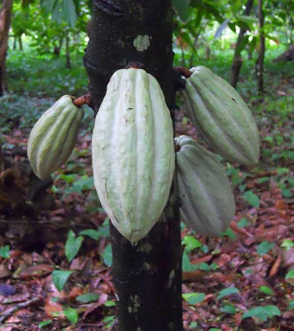 The Food Of The Gods: Cacao Use Among The Prehispanic Maya