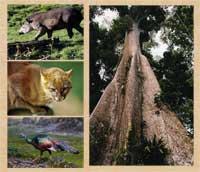 Pic 2: Rainforest inhabitants: tapir (top L), jaguarundi (centre L), ocellated turkey (bottom L), ceiba (silk-cotton) tree (R)
