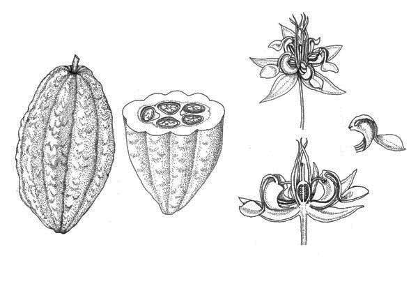 Resultado de imagen de cacao flower