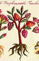 Pic 5: The oldest recorded illustration of Theobrama Cacao; Badianus Manuscript pl. 68