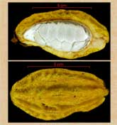 Pic 6: Herrania purpurea seed-wet cluster (top) and fruit (bottom)