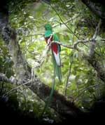 Pic 8: Resplendent Quetzal