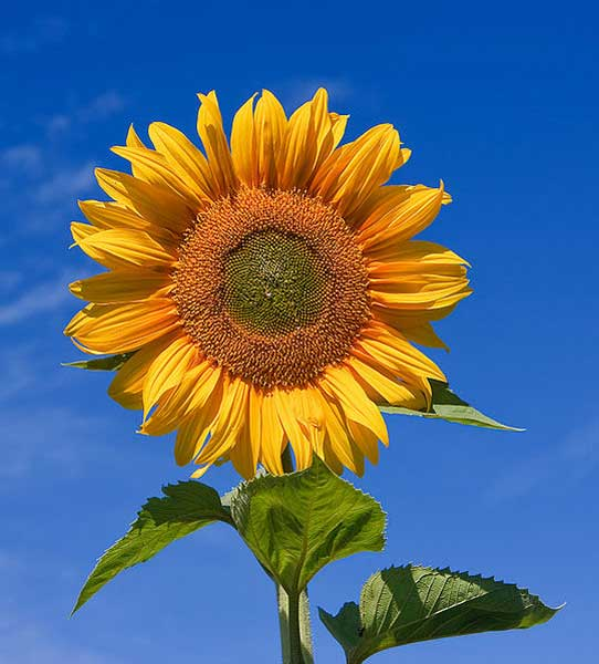 The Sunflower One Of Mexicos Gifts To The World