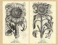 Pic 2: Sunflower illustrations in the medicinal herbal of F. Hernández, Book 1