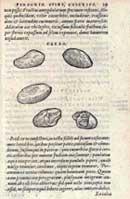 Pic 3: Carolus Clusius (1582) Caroli Clusii Atreb. aliquot notæ in Garciæ aromatum historiam. eiusdem descriptiones nonnullarum stirpium, & aliarum exoticarum rerum ... p. 29, Antwerp, Ex officina Christophori Plantini