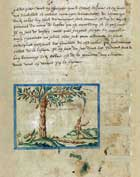 Pic 6: Drawing of a cacao tree in Samuel de Champlain (1602) 'Brief discours des choses plus remarquables que Samuel Champlain de Brouage á reconneues aux Indes occidentales'