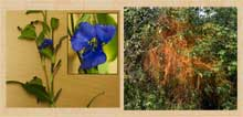 Pic 7: Commelina coelestis flowers used to make blue paint and wild Zacatlaxcalli used for yellow