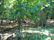Pic 3: Forest environment where cacao grows