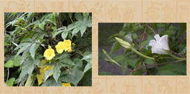 Pic 3: Wood rose (L) and Moonflower (R) vines