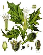 Pic 2: Illustration of the constituent parts of the plant Datura stramonium