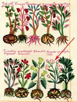Pic 5: 'Izquixochitl' (arrowed); Badianus Manuscript fol. 39r