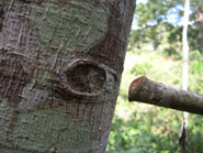 Pic 6: Trunk of the Castilla elastica (rubber tree), showing scar where a branch has been shed