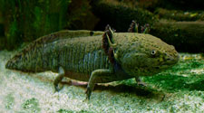 Pic 7: Note the 'headdress' shaped gills on the axolotl