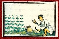 Pic 4: A small herb 'required as a cure by one who has the nose-bleed', Florentine Codex
