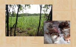 Pic 2: A 'kool' (cornfield) and 'k'oben' (three stone hearth)